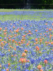 Indian Paintbrushes and Texas Bluebonnets - Bl...