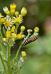 The Cinnabar Moth caterpillar (Tyria jacobaeae), Brandon Marsh, Warwickshire 05Jul11 (Lathers) Tags: moth brandon caterpillar warwickshire cinnabar tyriajacobaeae nbw canonef300mmf4lisusm canon7d wildinthemidlands wkwt 05jul11 thecinnabarmothcaterpillar