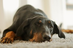 Drowsy Beauceron