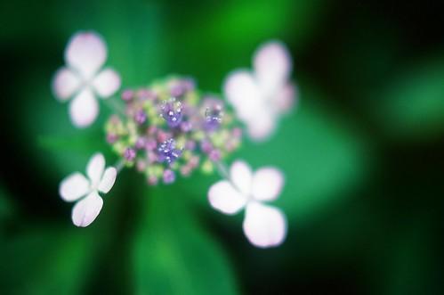 Blurred Hydrangea #5 by chizuru-bis