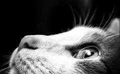 Tikal (Nick St. Marten Photography) Tags: hairy white black sexy eye art texture contrast cat hair fur high furry kitten fine pussy whiskers tikal meow tiki puss tika volume