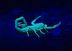 Scorpion Under Black Light (NoobieNikon) Tags: light arizona black nikon g ngc 85mm az scorpion bark f35 d7100