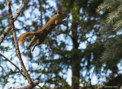 Reaching for the Sky (Franz Bodmer) Tags: squirrel