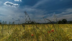 Dormi sepolto in un campo di grano (drugodragodiego) Tags: italy panorama nature landscape pentax natura lombardia lagodigarda k3 gardasee greatphotographers provinciadibrescia pentax1650 smcpda1650mmf28edalifsdm valtenesi pentaxiani pentaxk3