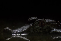 Silent predator (bdrc) Tags: crocodile reptile animal nature creature asdgraphy sony a6000 minolta 75300mm f4556 tele zoom life