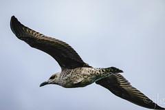 18092016DSC_1055.jpg (Ignacio Javier ( Nacho)) Tags: pginafotografia gaviotas facebook aves flickr faunayflora santander cantabria espaa es