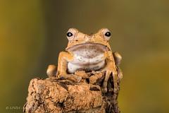 Borneo Eared Frog (Linda Martin Photography) Tags: borneoearedfrog dorset polypedatesotilophus wildlife frogworkshop uk nature ngc coth npc