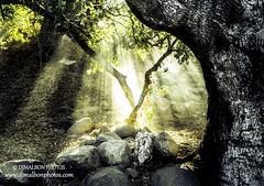 God's Tree (djmalbonphotos.com) Tags: god divine tree nature light holy