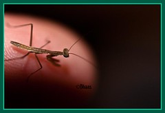 Finger Tip! (D90Deb) Tags: baby insect finger praying prayingmantis fingertip babyprayingmantis