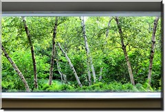 picture window (Theresa*) Tags: trees white green window illinois oneofakind glencoe birch naturesbest doorswindowsproject chicagobotanicgarden treepics flickrnature loverofnature natureandlandscapes prettynaturephotos screamofthephotographer keleka656