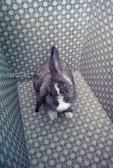 Day 149 (emilylan) Tags: pet rabbit bunny fur furry nikon pattern box ears ear 365 lop lagomorph 365project d3000 nikond3000