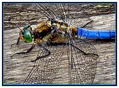 21-Super dragonfly (gio.dino3) Tags: colour nature fauna insect switzerland colours colore suisse dragonfly couleurs sony natur ale insects natura ali ala macros svizzera makro colori couleur insetto insecte insectes libellule faun insetti aile libellula ailes faune macrofotografia suisses macrophotographie giodino3 dschx100v
