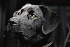 Standing Proud (Tim Bow Photography) Tags: newzealand portrait dog black face animal nose eyes ears stare british welsh nika kerikeri svenska psdtuts timbowphotography