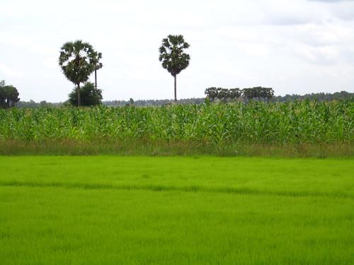 Rice and corn