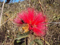 caliandra (jmarconi) Tags: flowers flores flower day power earth flor mother internacional dia international cerrado terra me mothersday valentinesday vegetao diadasmes diadosnamorados centrooeste caliandra flordocerrado ciganinha recreiodosindais taxonomy:binomial=calliandratweedii