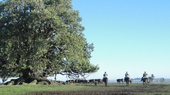 Jornada (G.F Ilha) Tags: sun tree field brasil cow bonito paisagem bull campo arvore hereford inverno cavalo riograndedosul amanhecer tropa vaca riogrande mangueira gaúcho caçapava junho peão braford crioulo umbu sãogabriel soulth campeiro campeirismo