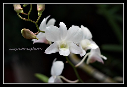 white orchid by mommy random thoughts