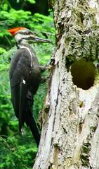 woodpacker2 @aman park (bdawson3307) Tags: bird mi woodpecker grandrapids amanpark sonyalpha550