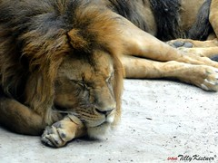 Sleeping Lion (Benjamin von Tilly Kistner) Tags: africa park travel sleeping wild nature animals cat germany de relax geotagged deutschland photography zoo photo dangerous europe photos sleep sony natur lion chilling lazy bigcat jungle mde tired afrika katze muede relaxed wuppertal bergischesland chill animalplanet entspannt sonycybershot mane faul lwe dschungel schlaf raubkatze loewe savanne wildkatze mhne wuppertalerzoo entspannend colorphotoaward schafend hx1 maehne sonycybershotdschx1 dschx1 mygearandme mygearandmepremium mygearandmebronze mygearandmesilver ringexcellence dblringexcellence flickrstruereflection1 flickrstruereflection2 flickrstruereflection3 flickrstruereflection4