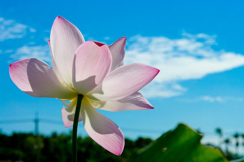 七月白河蓮花季