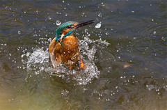 Kingfisher splashdown (Andy & Helen :-) :)) Tags: birds wildlife kingfisher british staffordshire rivertrent alcedoatthis canon400mmf56 canon60d