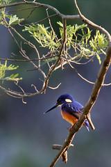 Azure Kingfisher (south*swell) Tags: bird australia kingfisher royalnationalpark audley azurekingfisher