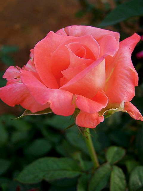 rose22