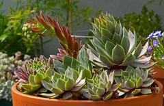 succulents (heinz41) Tags: vancouver olympus closeups succulents epl1 mzuiko14150mm