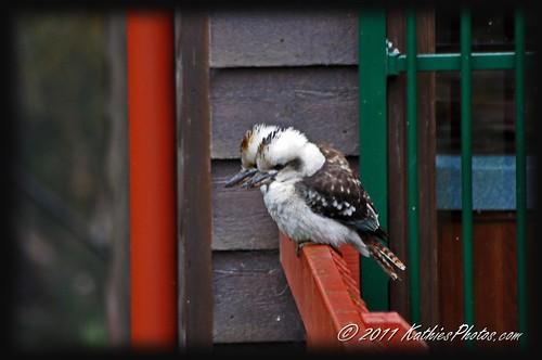 186-365 Two Australian blue-winged Kookaburras