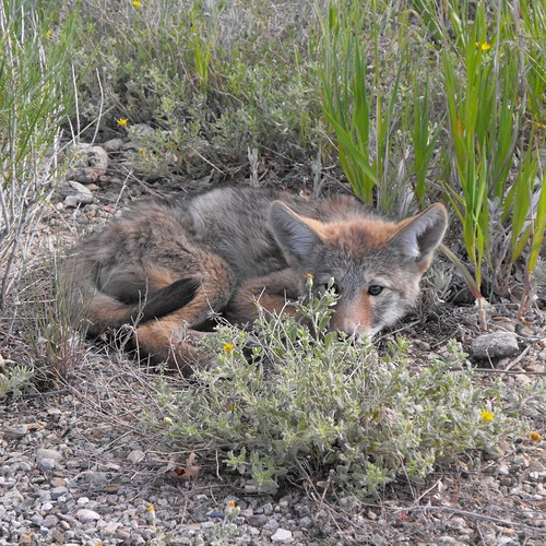 Look what we found hiding by the road at Mesa Verde.  We were afraid it had been hit but I think it was just wanting to lie down on the warm asphalt.  A life limiting behavior.  So cute though!