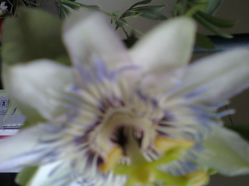 some of my passiflora - Page 2 5908251154_7eae326c54