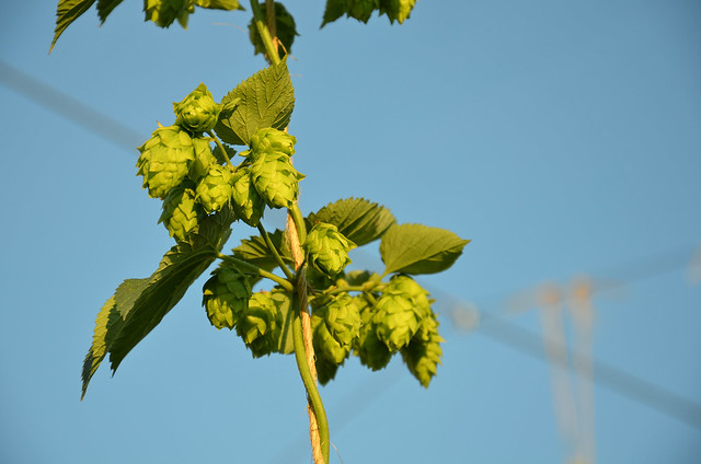 Hop Garden at Blue Mountain Brewery
