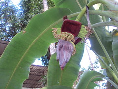 Plantain  (Ravi Mamparambath) Tags: banana musa plantain