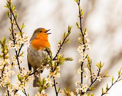 Robin in the Blackthorn (Explored) #20 on 21/4/12 (pollylew) Tags: bird nature robin blossom wildlife blackthorn hedgerow sloe wildbird britishbird nikond300s