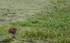 Mammoth Spring State Park - Arkansas (Adventurer Dustin Holmes) Tags: statepark arkansas serpent ilan ular animalia nab schlange madu suge ejo serpiente ula stateparks  serpente ylan reptilia serp anguis krme nathair chordata serpentes  mammothspring ophidia w squamata   gyvat serpento neidr kgy ahas    zmija nyoka  fultoncountyarkansas kaa     ska fultoncountyar    gjarpr carnivorousreptile conrn  koulv    carnivorousreptiles  arpe agw    nakahi
