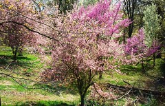 Tapestry of Missouri Spring - Flowering trees (Carolynmue) Tags: cherry crabapple bradfordpear plantandfungi floweringspringtreesredbud