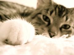 DSC07037.JPG (Davidshansen+) Tags: pet cute cat kat chat pussy gato katze   puss mis gatto figaro  huisdier pussycat haustier   kucing pusa    cattus animaldeestimao  missekat     conmo