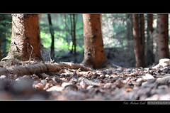 Wald (Surprise23) Tags: wood trees tree nature forest natur ground fir trunk holz wald bume baum pinecones tannenzapfen tanne boden stamm