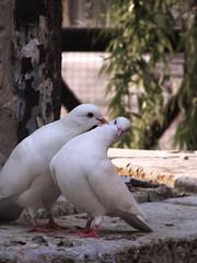 Contigo no, bicho (Sr_saul) Tags: bird wings kiss cobra paloma pico alas glorita pajaro beso pidgeon alcoy alcoi palomo rechazo