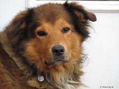 Dog at Amish Store. (Explored) (~~BC's~~Photographs~~) Tags: bcsphotographs canonsx50 amish dog closeups kentuckyphotos ourworldinphotosgroup earthwindandfiregroup explored1012016247