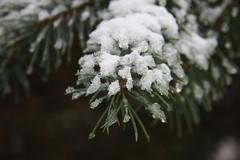 ckuchem-1691 (christine_kuchem) Tags: blaufichte eis fichte fichtennadeln frost macro nadeln nahaufnahme natur naturgarten tropfen winter dedeckt naturnah natrlich schnee