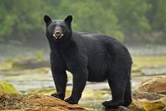 Larger than Life (Blingsister) Tags: americanblackbear blackbear bear maleblackbear dtrump blingsister melanieleesonwildlifephotography canon7dmarkii canonef100400mmf4556lisiiusm14xiii northernvancouverisland specanimal wildbear