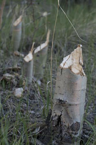 beaver-trees