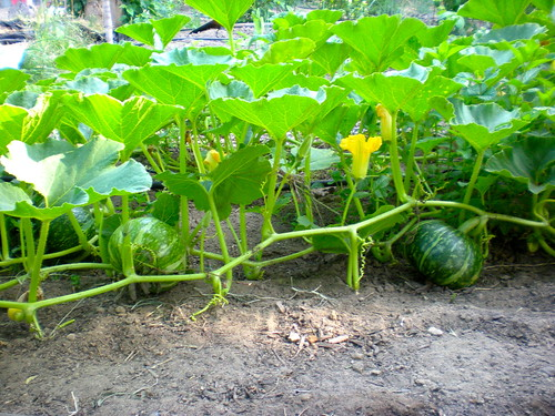Dream Love Garden How S It Growin Mid June 2011 Part 2