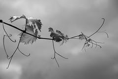 REPÁMPANOS !!! (ABUELA PINOCHO ) Tags: byn hojas cielo nubes tormenta parra ourtime embrujo cityart pampanos excellentphotographerawards superlativas