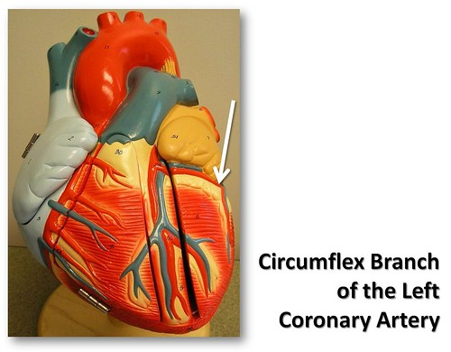 Circumflex branch of the left coronary artery, anterior view - The ...