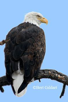Bald Eagle modified with Photoshop