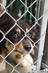 I'm Okay Here, But I'd Be Better Home With You (Propelsthemoon) Tags: dog pet canada animal canon puppy photography rebel 50mm moving eyes puppies young canine cage columbia british pup 18 shelter spca adopt kitimat ileah dinardo t1i propelthemoon