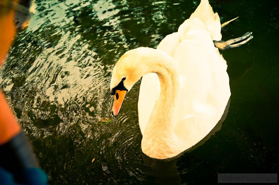 El cisne nos da la pata