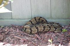 Taking it easy in the flower garden (jimehle58) Tags: snake timberrattler moltingsnake